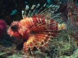 Frillfin Turkeyfish (African Lionfish), Pterois Mombasae, At Rest