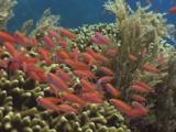 Dispar Anthias (Redfin Anthias), Pseudanthias Dispar, Schooling Over Hard Coral