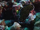 Gold-Speckled Flatworm, Thysanozoon Nigropapillosum, Crawls Across Reef