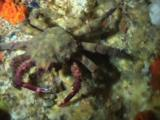 Decorator Sponge Crab, Schizophrys Sp. Or Hyastenus Elatus, Walks Over Reef