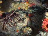 Longlegged Spiny Lobsters, Panulirus Longipes, Sheltering In Rocky Reef