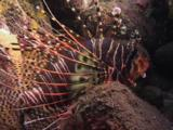Spotfin Lionfish, Pterois Antennata, Resting Between Boulders