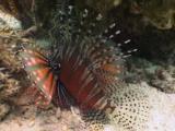 Zebra Lionfish, Dendrochirus Zebra, Sheltering At Base Of Reef