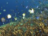 School Of Blue-Green Chromis, Chromis Viridis, And Pyramid Butterflyfish, Hemitaurichthys Polylepis, Over Hard Coral Reef