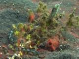 Hairtail Blenny (Snake Blenny), Xiphasia Setifer, Camouflaged Amongst Marine Growth