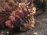 Dwarf Lionfish, Dendrochirus Brachypterus, On Volcanic Sand