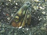 Highfin Snake Eel (Black-Finned Snake Eel), Ophichthus Altipennis, Buried In Volcanic Sand