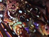 Longlegged Spiny Lobster, Panulirus Longipes, Walking
