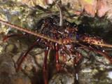 Longlegged Spiny Lobsters, Panulirus Longipes, In Underwater Cave