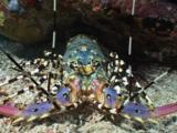 Ornate Spiny Lobster, Panulirus Ornatus, With Antennae Raised