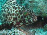 Longfin Grouper, Epinephelus Quoyanus, Snatches Food