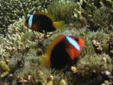 Red And Black Anemonefish (Cinnamon Clownfish), Amphiprion Melanopus, In Sea Anemone On Coral Reef