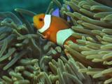 Ocellaris Clownfish (Clown Anemonefish), Amphiprion Ocellaris, In Magnificent Sea Anemone, Heteractis Magnifica