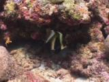 Phantom Bannerfish, Heniochus Pleurotaenia, Sheltering Under Reef
