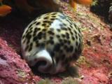 Tiger Cowrie (Tiger Cowry), Cypraea Tigris
