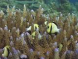 Cloudy Damsels (Cloudy Dascyllus), Dascyllus Carneus, Hiding In Hard Coral