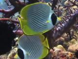 Pair Of Philippine Butterflyfish (Panda Butterflyfish), Chaetodon Adiergastos, Sheltering In Coral