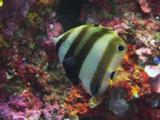 Twospot Coralfish, Coradion Melanopus