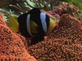 Clark's Anemonefish, Amphiprion Clarkii, Opens Mouth On Red Carpet Anemone, Stichodactyla Sp.