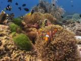 Ocellaris Clownfish (Clown Anemonefish), Amphiprion Ocellaris, And Clark's Anemonefish, Amphiprion Clarkii, In Magnificent Sea Anemones