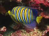Regal Angelfish (Royal Angelfish), Pygoplites Diacanthus, Feeding On Coral Reef