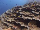 Sloping Reef Of Montipora Coral, Montipora Sp.