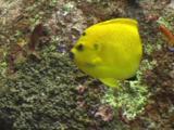 Three-Spot Angelfish, Apolemichthys Trimaculatus, Swimming
