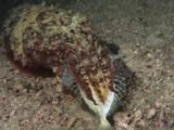 Pharaoh Cuttlefish, Sepia Pharaonis, Eating Struggling Fish At Night
