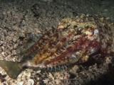 Pharaoh Cuttlefish, Sepia Pharaonis, Eats Struggling Fish At Night