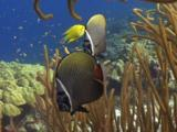 Pair Of Redtail Butterflyfish, Chaetodon Collare, In Spaghetti Finger Leather Coral, Sinularia Flexibilis