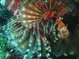 Zebra Lionfish, Dendrochirus Zebra, Displaying Fins And Spines