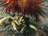 Urchin Crab, Dorippe Frascone, Carrying Blue-Spotted Urchin, Astropyga Radiata