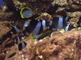 Black Pyramid Butterflyfish, Hemitaurichthys Zoster, And Blackback Butterflyfish, Chaetodon Melannotus, Feeding On Reef