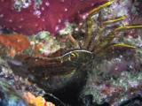 Flat Rock Crab, Percnon Planissimum, Waves Antennae And Mandibles And Rubs Eye