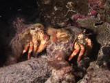 Pair Of Anemone Hermit Crabs, Dardanus Pedunculatus