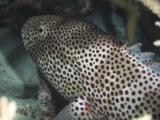 Squaretail Coralgrouper, Plectropomus Areolatus, Sheltering Under Staghorn Coral At Night