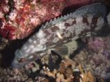 Whitespotted Grouper, Epinephelus Coeruleopunctatus, Resting At Night
