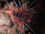 Clearfin Lionfish, Pterois Radiata, Resting At Night With Fins And Spines Spread