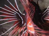 Clearfin Lionfish, Pterois Radiata. Rear View Showing Transparent Fins