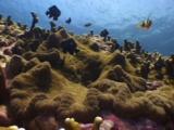 Clark's Anemonefish, Amphiprion Clarkii, And Domino Damsels (Threespot Dascyllus), Dascyllus Trimaculatus, Compete Over Pizza Anemone (Adhesive Anemone), Cryptodendrum Adhaesivum