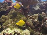 Pair Of Longnose Butterflyfish, Forcipiger Longirostris, Swiming Along Coral Reef