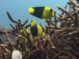 Bicolor Angelfish, Centropyge Bicolor, Feeding On Staghorn Coral