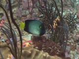 Yellowtail Angelfish, Apolemichthys Xanthurus