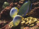 Melon Butterflyfish, Chaetodon Trifasciatus, And Lined Surgeonfish, Acanthurus Lineatus, Feeding On Reef