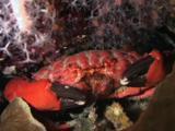 Splendid Round Crab, Etisus Splendidus, Feeding At Night
