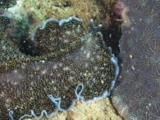 Spotted Black Flatworm, Acanthozoon Sp., Crawls Over Reef