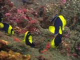 Bicolor Angelfish, Centropyge Bicolor, Feeding