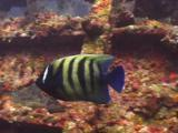 Six-Banded Angelfish (Sixbar Angelfish), Pomacanthus Sexstriatus, Swims Over Usat Liberty Shipwreck