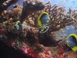 Blackback Butterflyfish, Chaetodon Melannotus, And Cardinalfish On The Usat Liberty Shipwreck
