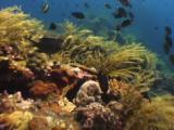 Hydroids And Fish On The Usat Liberty Shipwreck At Tulamben, Bali